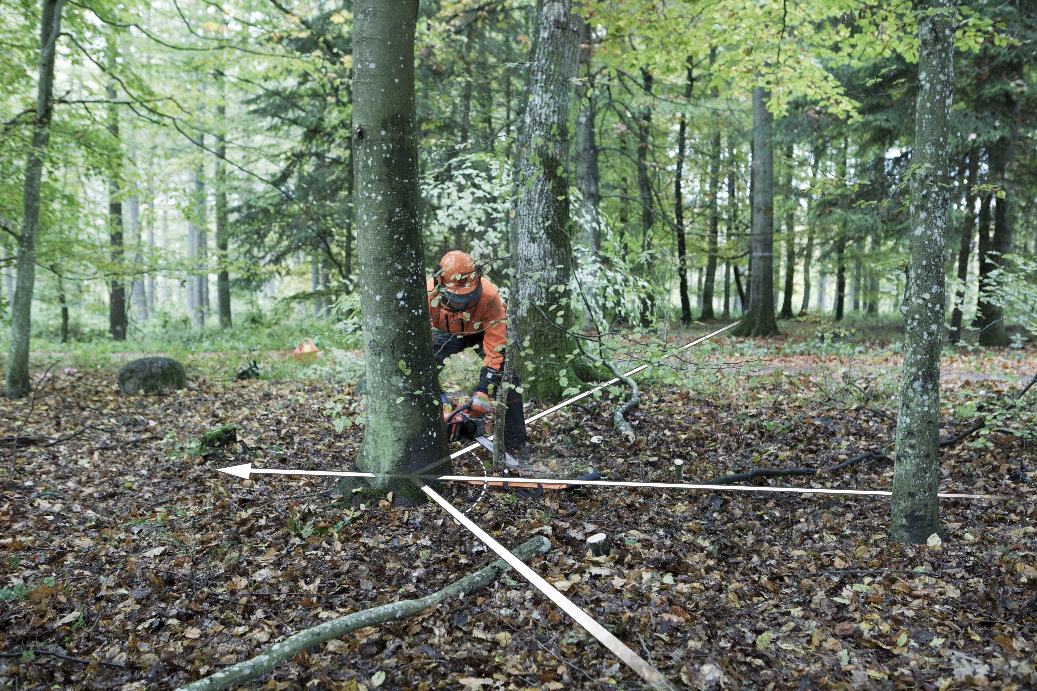Preparativos preliminares a la operación de tala