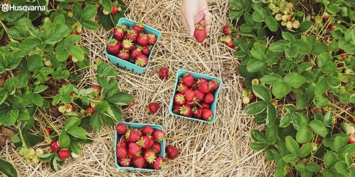 botrytis-fresas