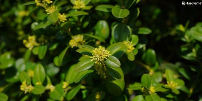 Buxus sempervirens el peque o arbusto de uso ornamental - Arbusto pequeno con flores ...