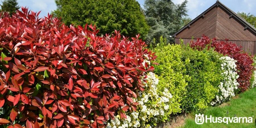Decora tu jard n con photinia el arbusto que puede formar - Setos de jardin ...
