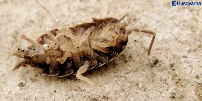 plaga-buxus-sempervirens