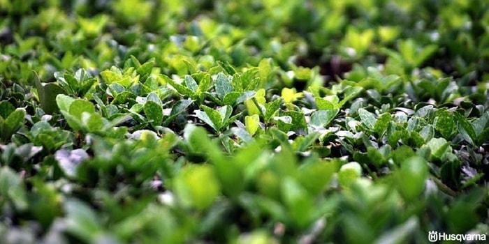 buxus-sempervirens-hojas