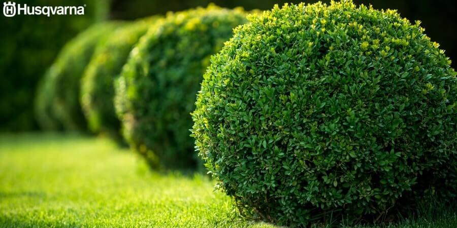 buxus sempervirens el peque o arbusto de uso ornamental