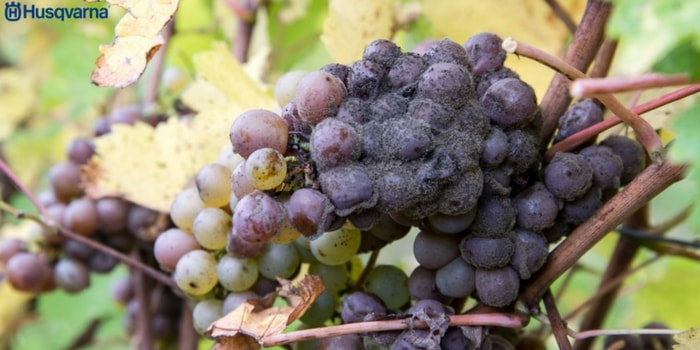 botrytis-viticultura