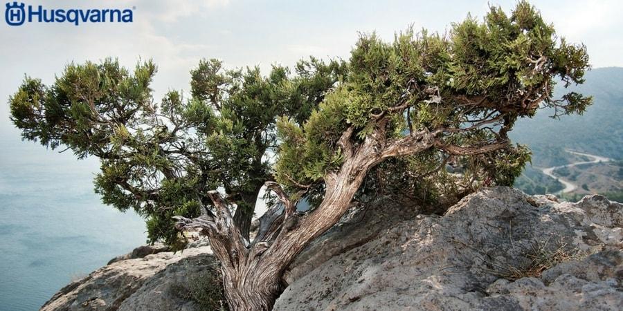 Juniperus communis, la planta leñosa que resiste condiciones extremas