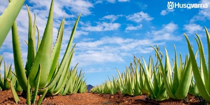 cultivo-de-aloe-vera