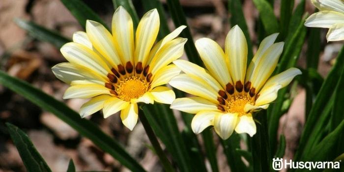 gazanias-amarillas