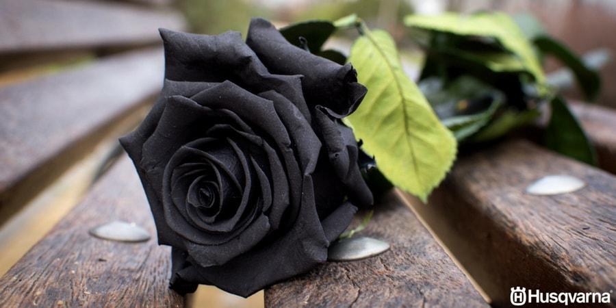 Husqvarna >> Rosas negras, ¿mito o realidad? Todo lo que necesitas saber.