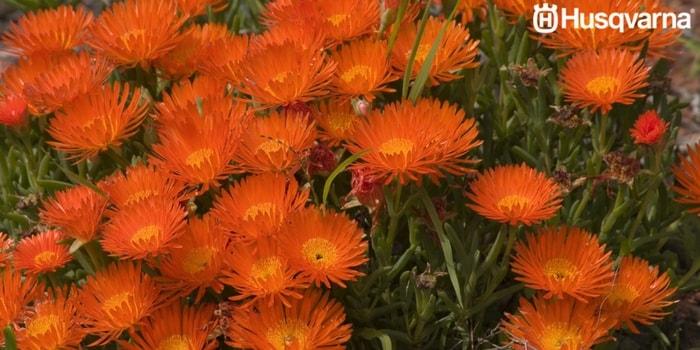 lamprantus-flores