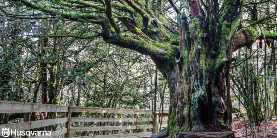 Taxus baccata: el árbol poco exigente, resistente y extremadamente longevo