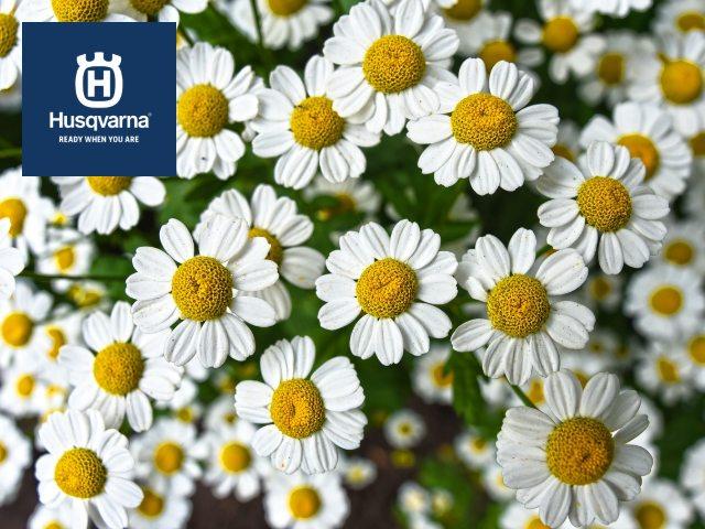 Todo lo que debes saber sobre la manzanilla, la planta con propiedades saludables