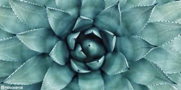 planta-tapizante-crasa