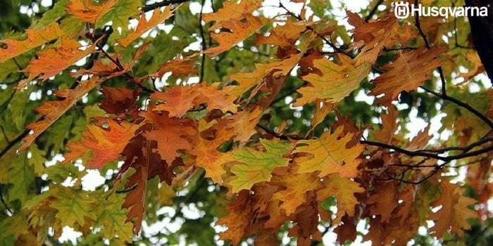 quercus-pyrenaica-hojas
