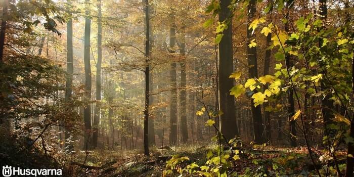 bosque-fagus-sylvatica