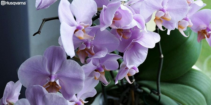 La orquídea Dendrobium, una de las especies con más variedades