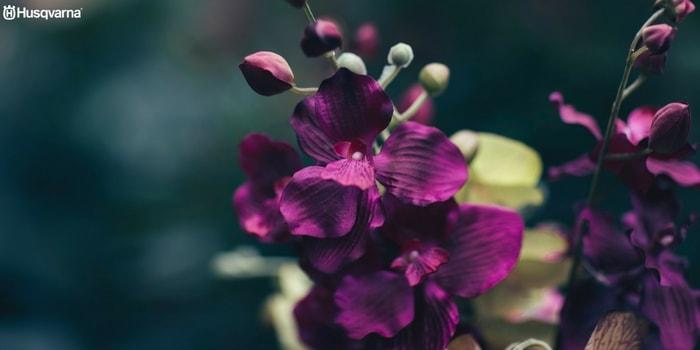 orquídea-dendrobium