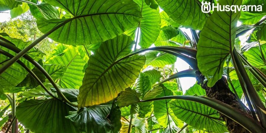 Decora tu casa con alocasias las plantas de grandes hojas - Planta de exterior resistente ...