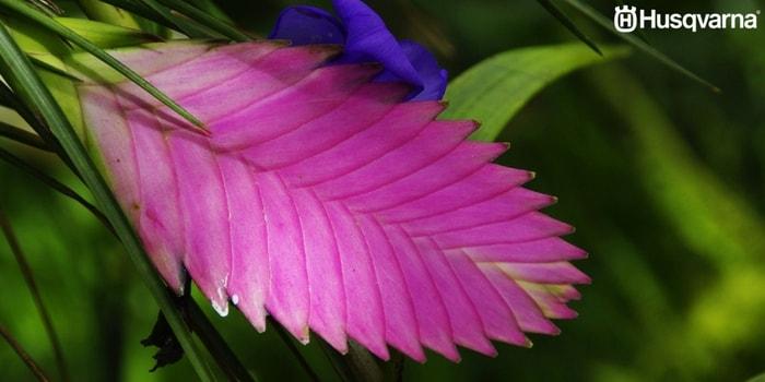 tillandsia-flor