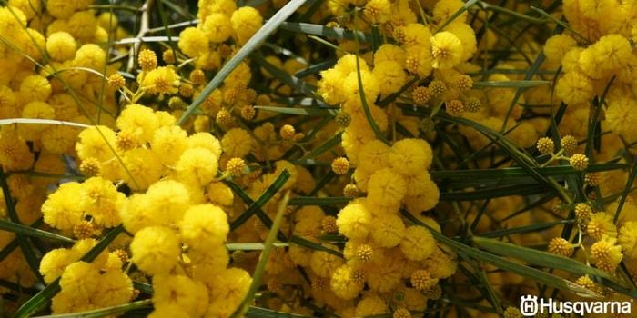 acacia-baileyana-flores