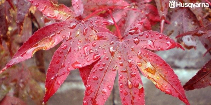 acer-palmatum-hojas