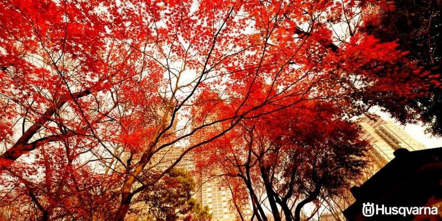 Acer palmatum, el árbol asiático perfecto para decorar
