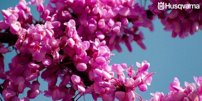 cercis-siliquastrum-flores