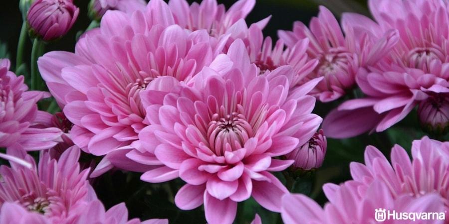 Crisantemos, las flores de gran simbolismo y sencillo cultivo