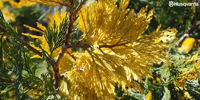 hojas-amarillentas-ciprés