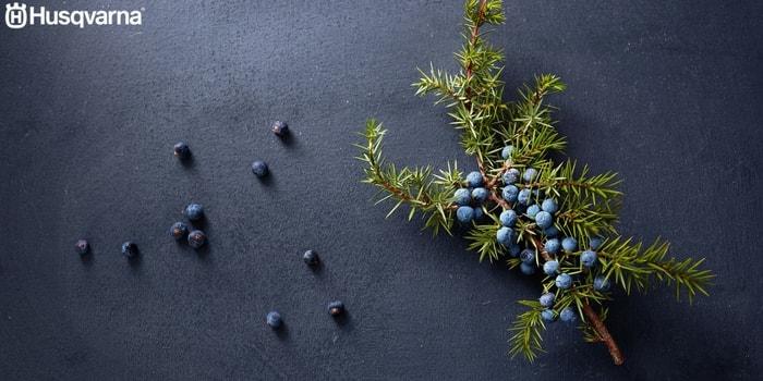 juniperus-communis-componentes