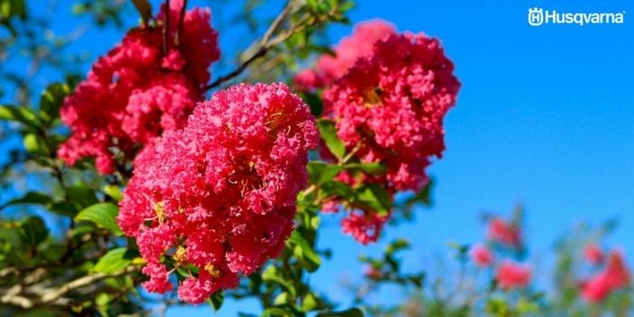 lagerstroemia-indica-flores
