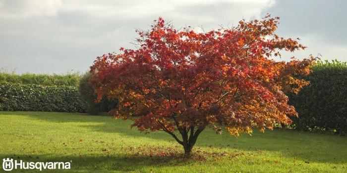 acer-palmatum-hojas-rojas