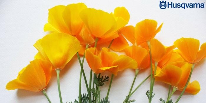 flores-amapola-de-california