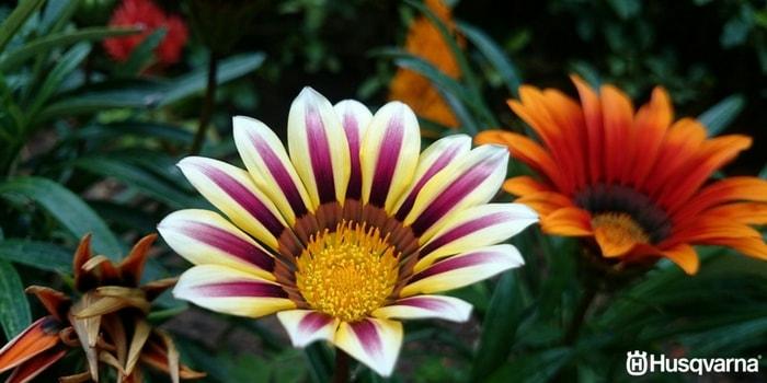 flores-de-gazania