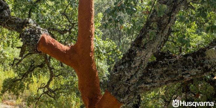 quercus-suber-madera