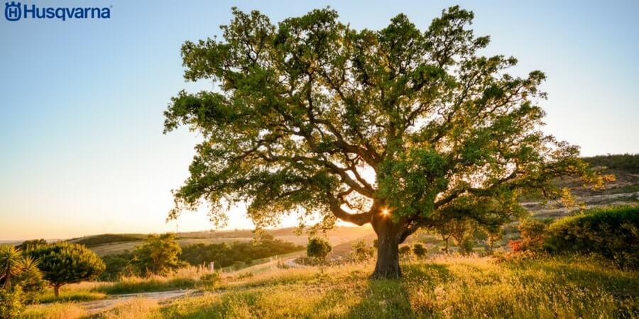 Quercus suber, el árbol perennifolio productor de corcho