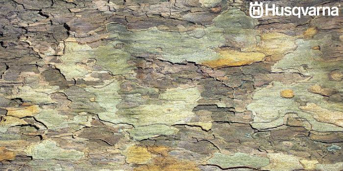 corteza-platano-de-sombra
