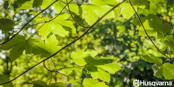 hojas-del-plátano-de-sombra