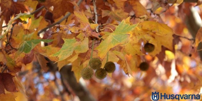 hojas-fruto-del-plátano-de-sombra
