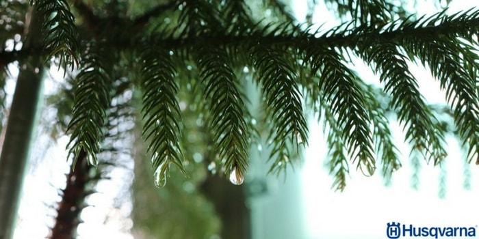 pinsapo-mojado-lluvia
