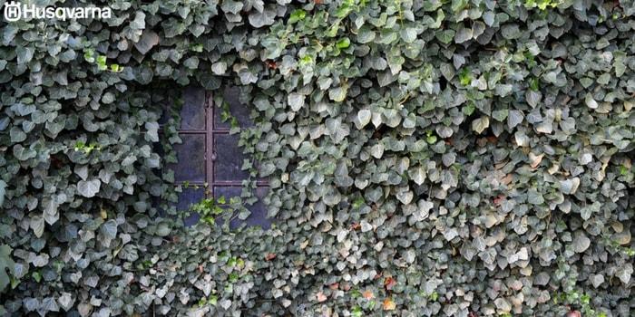 planta-trepadora-pared