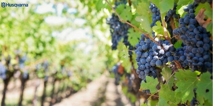 vitis-vinifera