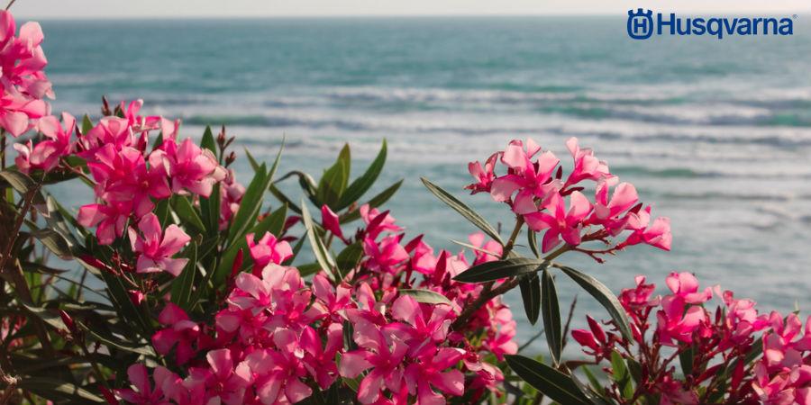 Adelfa, una de las plantas más bonitas y a la vez más venenosas del mundo