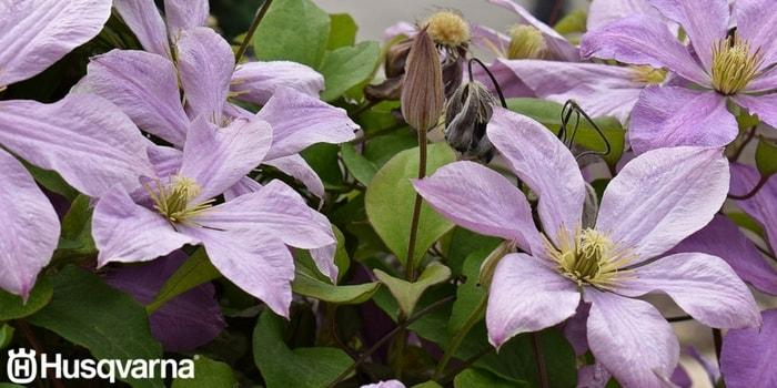 clematis-violetas