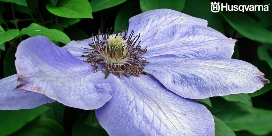 Decora tu jardín y tu casa con Clematis, las plantas de preciosas flores