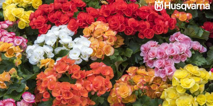 flor-begonia