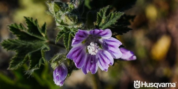 malva-flor