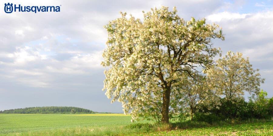 Conócelo Todo De La Robinia Pseudoacacia El árbol De Gran Resistencia