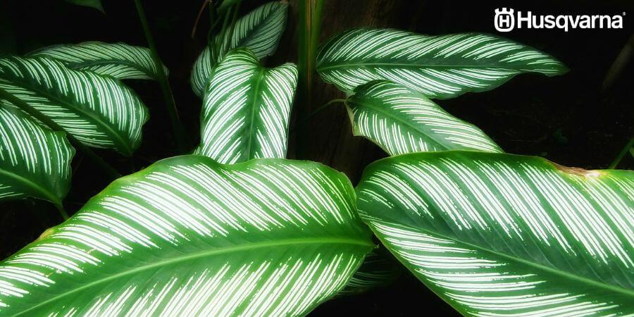 Decora tu casa con Calathea, la planta de hojas verdes y violetas