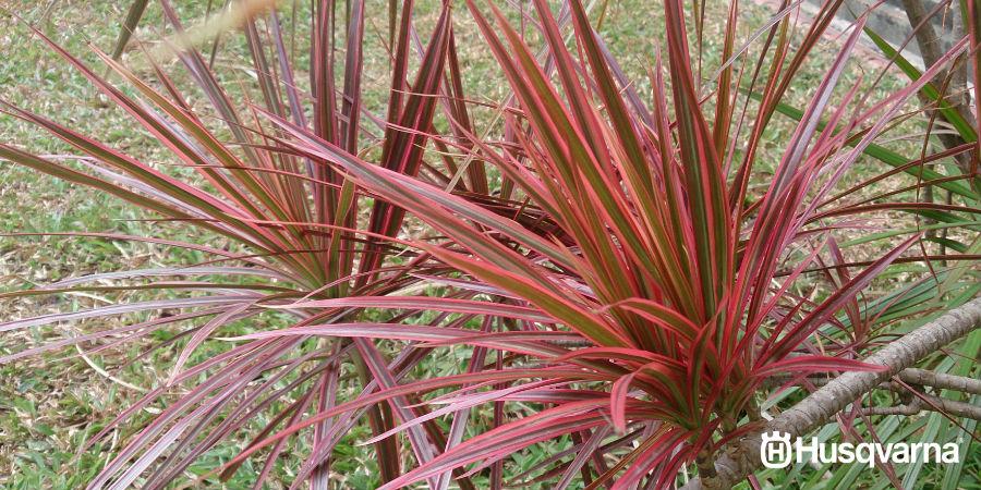 Dracaena marginata, la planta de Madagascar