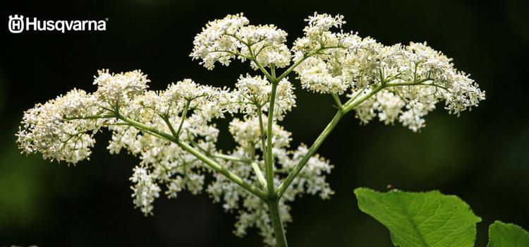 Flores sambucus nigra